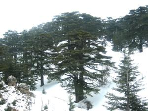 Forest_of_The_cedars_of_God